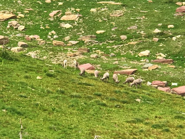Herd of Bighorn sheep grazing in meadows at Highline trail Glacier National Park