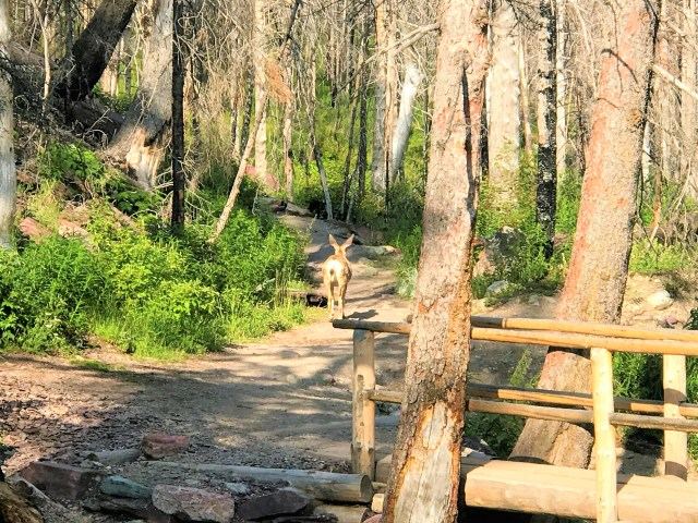 Deer came out of green in the wood at Baring Falls Glacier National Park