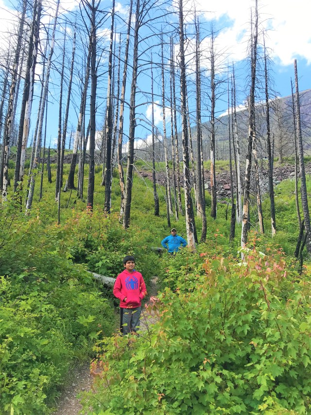 Green lush vegetation with Burnt remain of trees on Baring Falls trail Glacier National Park