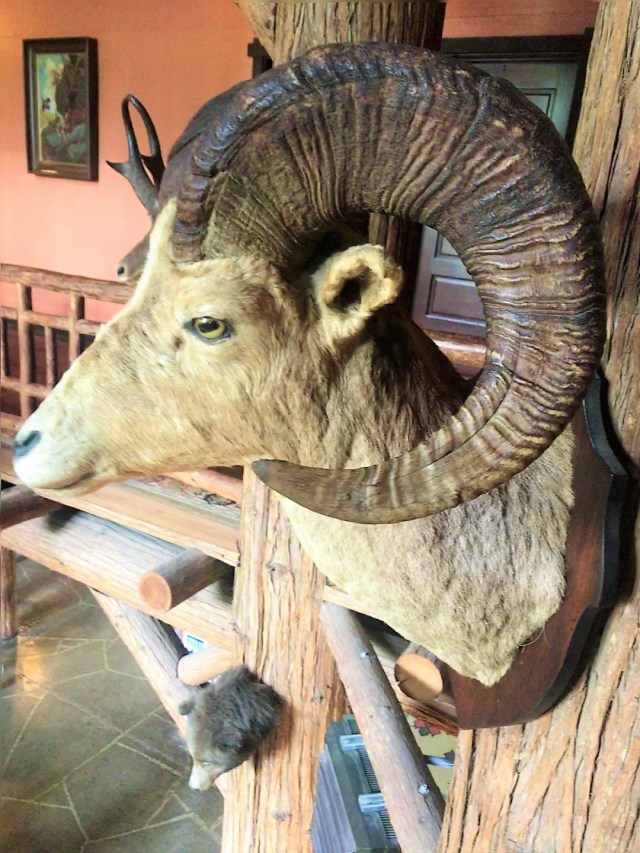 BigHorn Sheep Exhibit at Lake McDonald Lodge Things to Do at Glacier National Park