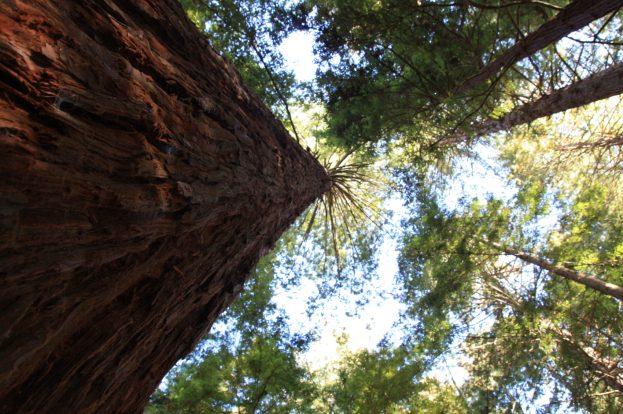 redwoods-rotorua