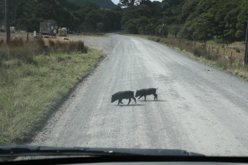 cochon-pig