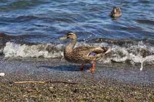 duck-taupo