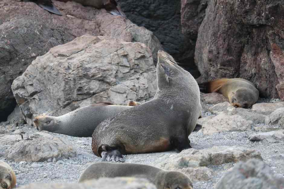 seal otarie Cape Palliser NZ
