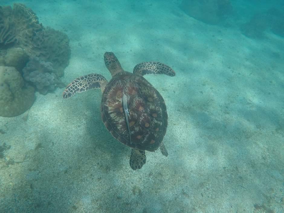 Apo island_plongee tortue Philippines