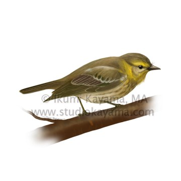 Scientific illustration of a May Warbler bird. © Kayama Studio