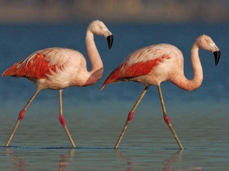 Chilen Flamingo - Toinen etelä-amerikkalainen, kotitalousalueita trooppisia ja subtrooppisia leveysalueita