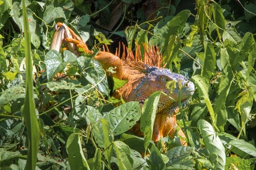 Belice con los niños - una iguana en el río del dinero