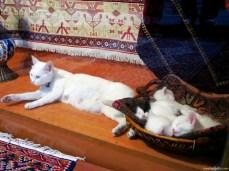 Pisica ciacâră și puii ei