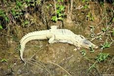Un crocodil stă la soare