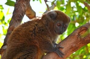 Un lemurian atârnat