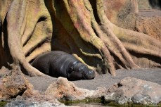 Un pui de hipopotam. Nu pare să fie prea stresat.