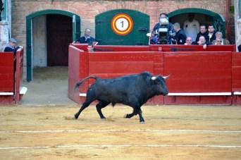 El toro nervoso