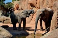 Elefanţii au venit la adăpat