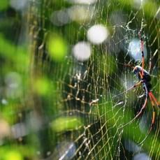 Pokhara - păianjenul