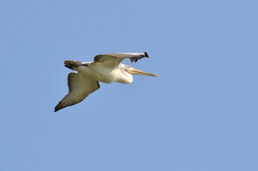 Unul din colonia de doi pelicani