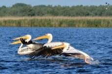 ... ne-am luat la întrecere cu pelicanii ...