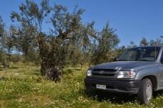 Pădurea de măslini