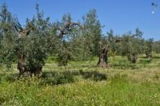 Măslini seculari, vechi de sute de ani