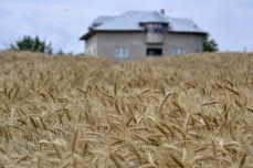 Ziua începe în lanul de grâu