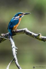 Pescăraș albastru (Alcedo atthis) sau Kingfisher