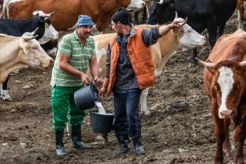 Colectarea laptelui