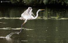 Egretă mare