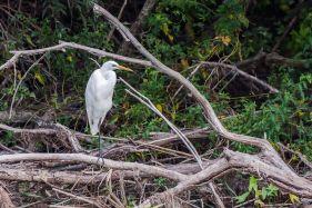 Egretă mică