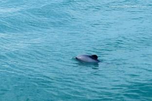 Hector dolphin!