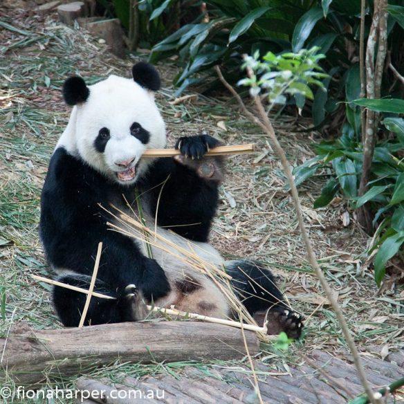 Giant panda at River Safari, Singapore