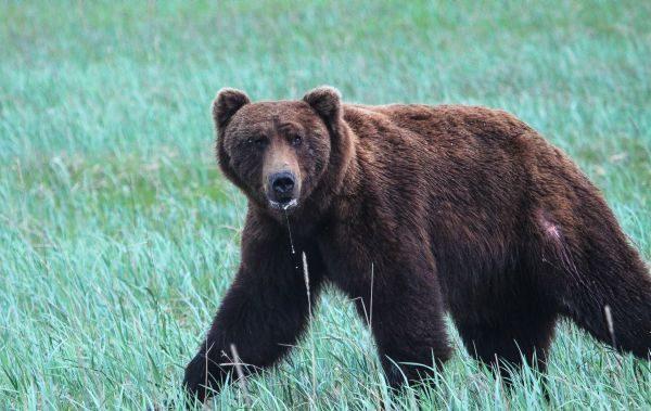 Brown bear, Kachemak National Park
