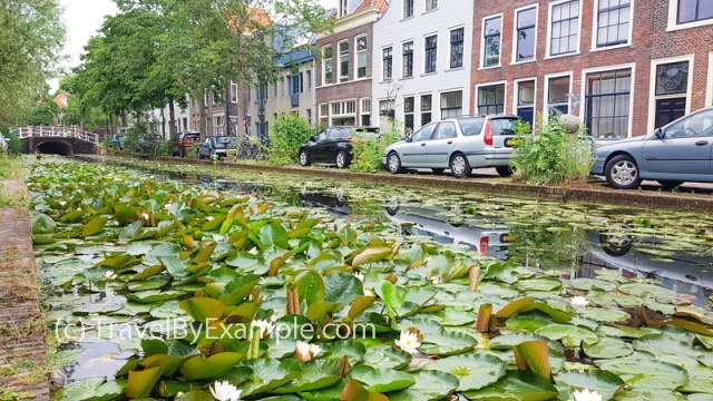 Delft canals covered in water lilies