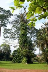Aburi Gardens Kapok Tree
