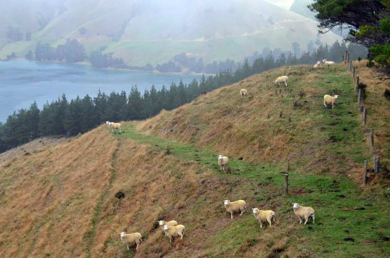 The famous hillside sheep of NZ one set of legs shorter than the other to cope