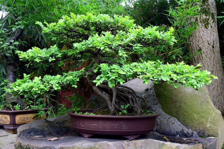 עץ בונזאי בפארק המקדש (צילום: טל ניצן)