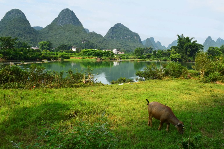 תאו מים על רקע נהר יולונג (צילום: טל ניצן)