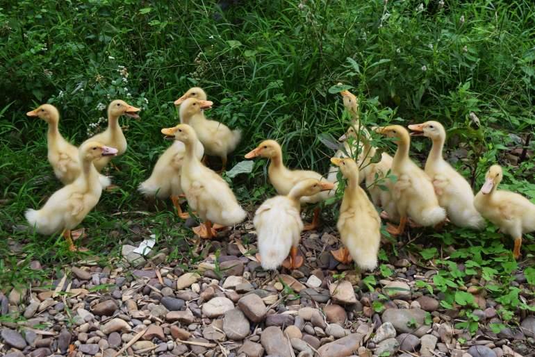 אפרוחי ברווז מסתובבים חופשי בדה-חה-ביי (צילום: טל ניצן)