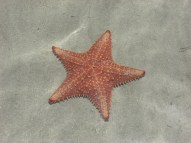 Starfish in Panama