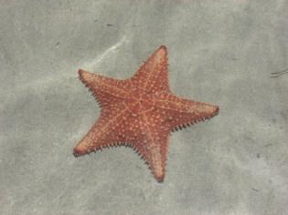 Starfish in Panama