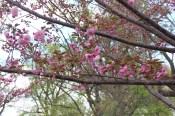 Cherry blossom at Arlington