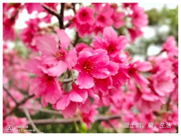 【新竹.玩】少女時代聖地櫻花滿開中!旅遊達人帶玩