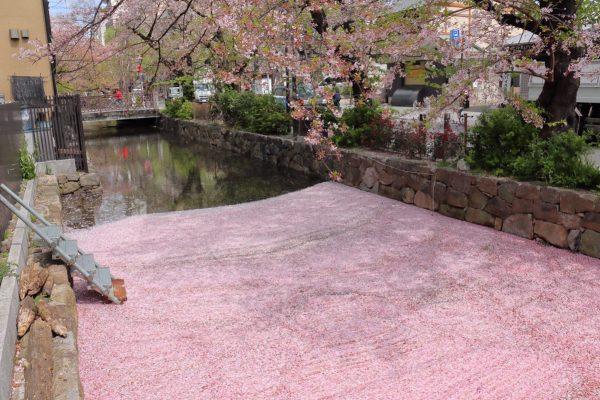 日本,京都,櫻花季,滿開,高瀨川