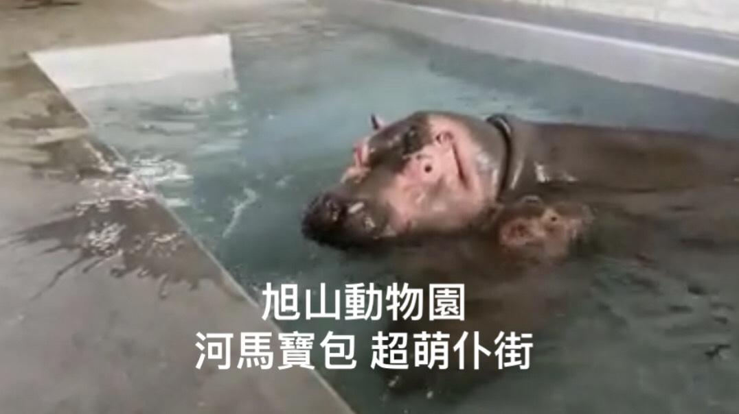 【北海道.影】河馬寶包超萌仆街  旭山動物園休園不無聊