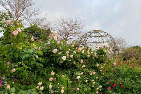 花博,玫瑰公園,玫瑰展