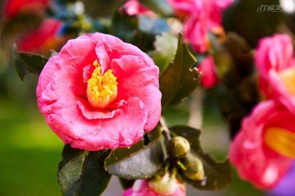 陽明山,花季,花卉試驗中心,櫻花,昭和櫻,杜鵑,鬱金香