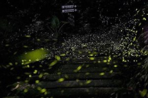 螢火蟲,火金姑,大板根,礁溪老爺,溫泉