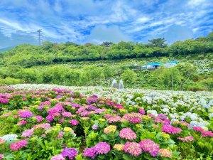 繡球花,高家繡球花田,4月雪,螢火蟲