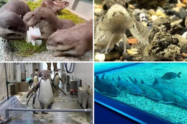 日本,水族館,動物園,水獺,企鵝,線上看