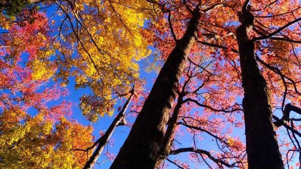 南投景點,奧萬大,賞楓景點,楓紅,落羽松,綠野山莊