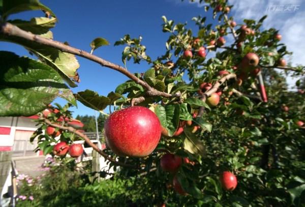 台中,福壽山農場,武陵農場,蜜蘋果,大波斯菊,墨西哥鼠尾草